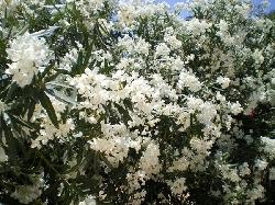 Flowering Oleander lines the park