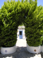 lemon cypress archway