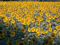 Sunflower fields of Le Marche