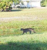 Bobcat crosses the rear garden