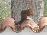 we have Red squirrels