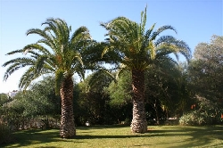 palm trees on our lawn