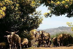 our flock of typical Bordeleira sheep